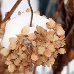冬のアジサイはセピア色
