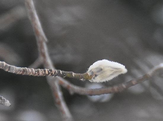 コブシの冬芽
