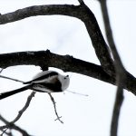 シマエナガの羽根の色は肩の部分だけちょびっと茶色
