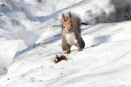 冬毛のエゾリス