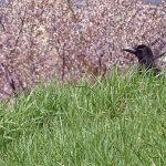 手稲 軽川緑地の鯉のぼりと桜堤が満開!カラスもプロポーズ(2018)