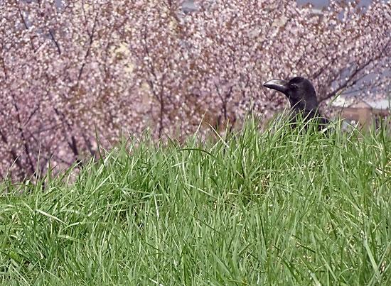 軽川桜堤のカラス