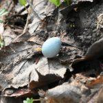 枯れ葉の上に落ちていた空色の卵はアカハラの卵?