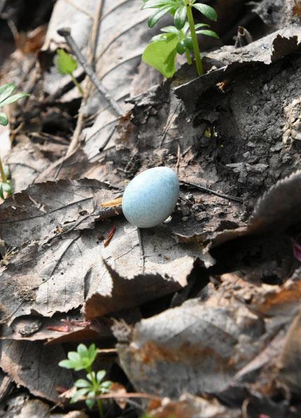 アカハラの卵