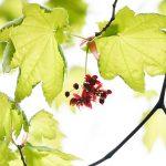 北海道の5月はモミジの花とメープルシロップ