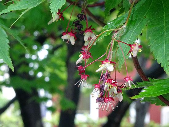 ハウチワカエデの花