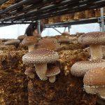 あしだ農園さんで大きな菌床シイタケ摘み取り体験!