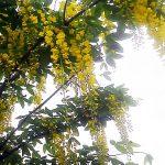 黄色い花咲くキングサリ 手稲駅前のスーパー前の街路樹に
