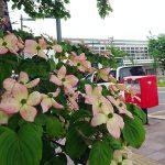 JR手稲駅前に咲く街路樹ベニバナヤマボウシ