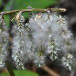 6月の風物詩 あたりを漂う白い種はヤナギの種