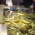 千歳水族館 タッチプール