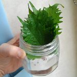 シソの葉を簡単に2週間長持ちさせる方法
