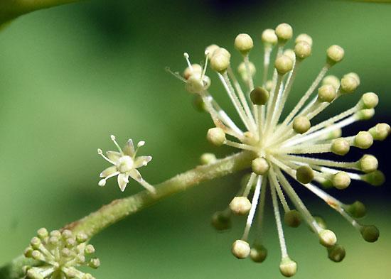 ヤマウドの花