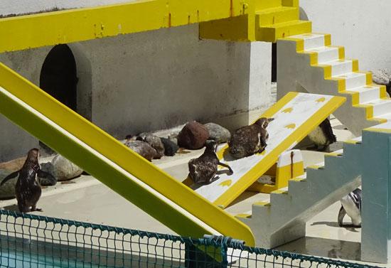 小樽水族館のペンギン