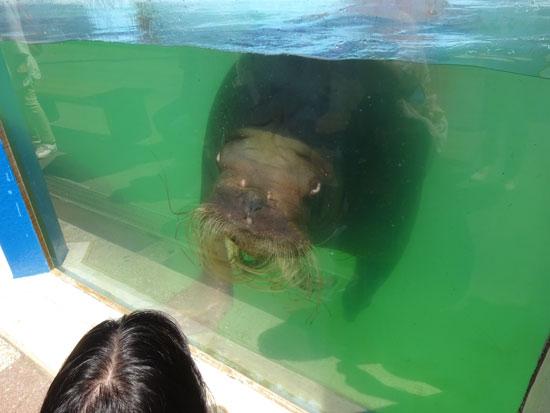 小樽水族館セイウチ