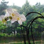 胡蝶蘭 花が終わったら3ヶ月後に2番花