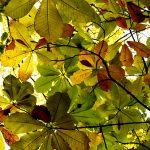 札幌の紅葉 広葉樹は黄金色