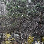 札幌、観測以来もっと遅い128年前の初雪と並ぶ