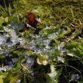氷の乗った草