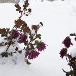 北国の草が凍らずに真冬を生き抜くワザとは