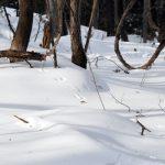 雪面のスタンプはエゾリスの足跡