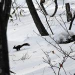 エゾリスが真冬の北海道を越す
