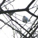 シマエナガは北海道に生息する日本で一番小さな野鳥