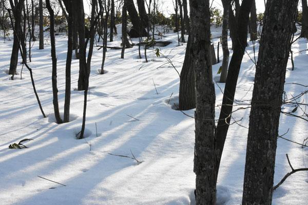 雪の林の春