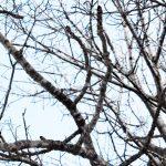 雪虫たちが春のヤチダモで目をさます