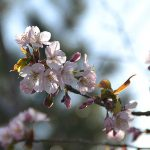 東京オリンピックに北海道の桜が満開?!