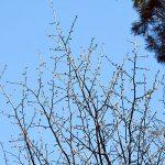 「令和」最初の桜の開花は旭川?