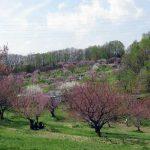 平岡公園『梅まつり』9日の開花状況と梅ソフト