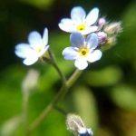 忘れな草とエゾムラサキの簡単な見分け方