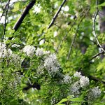 敵か味方か6月はニセアカシヤの咲く季節