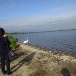 ウトナイ湖には留守番白鳥も