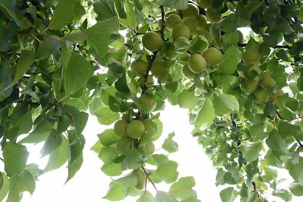 梅の木になる梅の実