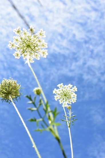 うろこ雲と白い花