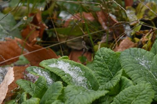 葉に落ちた雪
