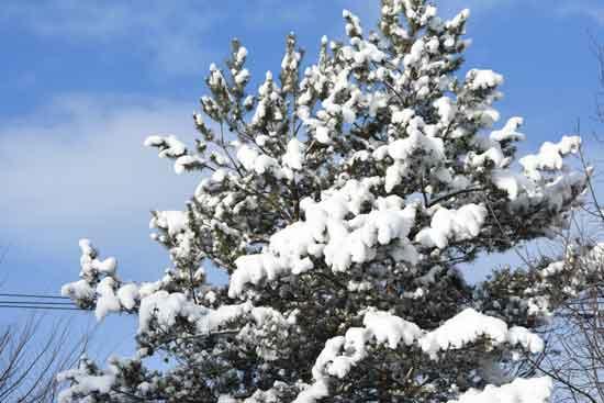 木の枝に積もった雪