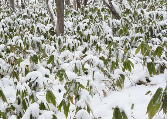 笹やぶの雪