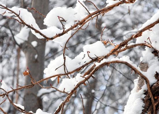 オオカメノキに積もった雪